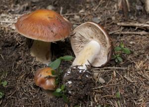 Cortinarius glaucopus var. acyaneus