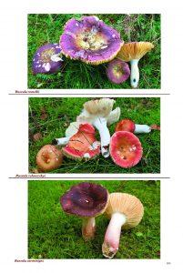 Russula in Urban Fungi
